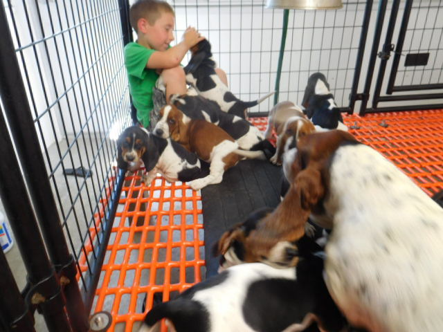 Basset Hound Puppies For Sale In Michigan Sandyhill Basset Hounds