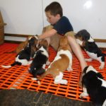 Boy playing with Basset Hound puppies