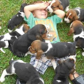 Basset Hound Puppies For Sale in Illinois